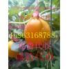 供应全国最畅销久红瑞甜瓜洋香瓜