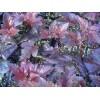 紫叶风箱果//紫叶风箱果价格//紫叶风箱果种植