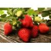 规模大的红苺批发市场推荐,树莓供应