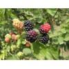 黑莓树苗哪里有供应商,专业的黑莓树苗提供商,当属鑫存农业