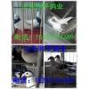 供应优质进口美国白羽王鸽纯种白羽王肉鸽产蛋率最高的肉鸽