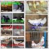 大体老北京点子观赏鸽扬州高飞点子高飞系列观赏鸽