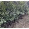 无病虫害的金丝楠木树苗出售,中国金丝楠