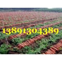 陕西万亩优质红萝卜基地批发,红萝卜产地批发价格