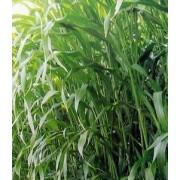高丹草新品种及生产利用技术 玉米草种子