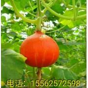 观赏食用红蜜南瓜种子