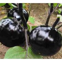 晋中布利塔茄子苗育苗 紫把茄子苗厂家