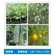 滨州甜宝甜瓜苗种子