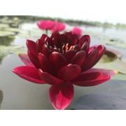 河北睡莲,睡莲苗,睡莲种苗,种植基地