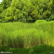 河北芦苇,芦苇苗,芦苇种苗,种植基地