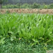 高效菊苣种子牧草种子 玉米草种子