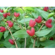 优质水果树种苗健身果,相思果种苗,无核杈杷果种苗批发